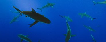 sharks at Brothers Islands