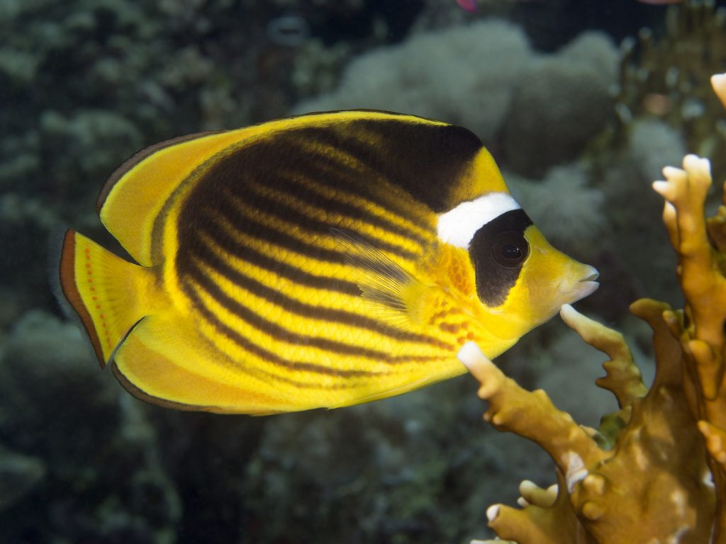Diagonal butterflyfish (Chaetodon fasciatus), Red Sea